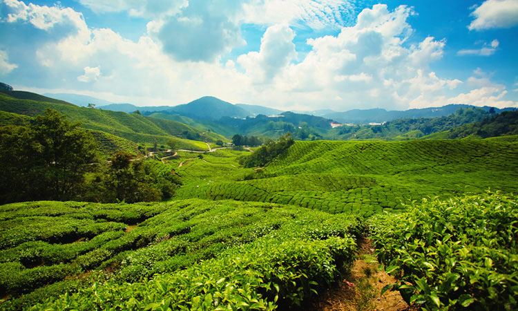 Чайные плантации в Cameron Highlands. BOH Tae Plantation в Малайзии.