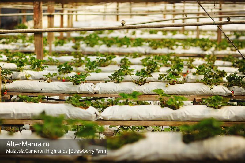 Клубничные фермы в Танах Рата