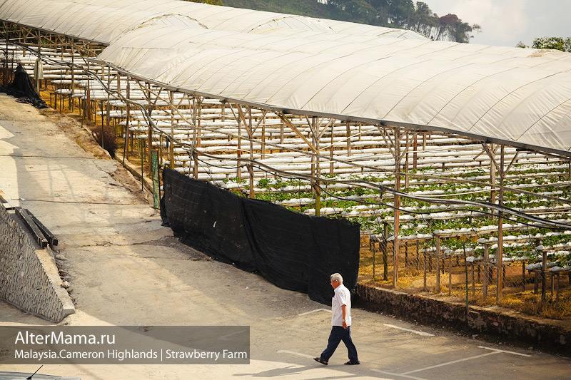 Клубничные хозяйства в Малайзии Камерунские холмы