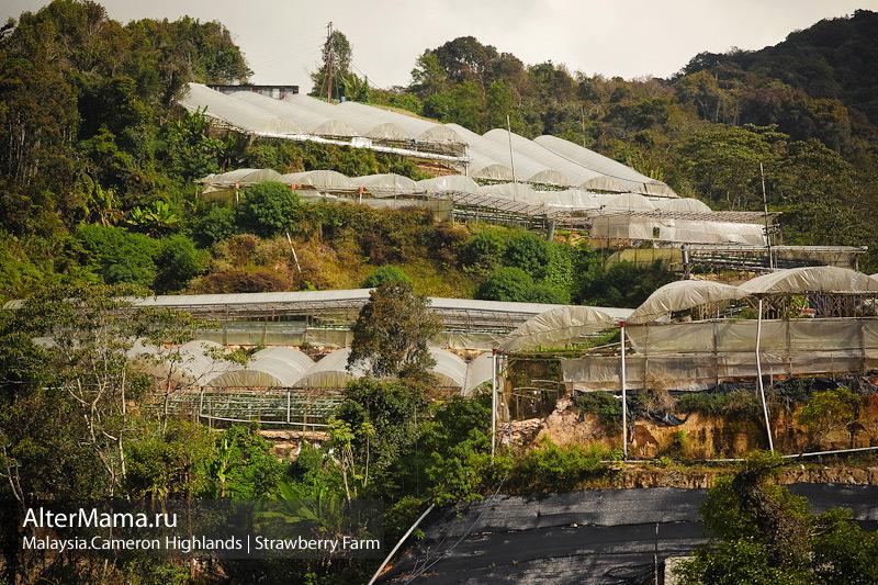 Клубничные хозяйства Малайзии Камерунские холмы