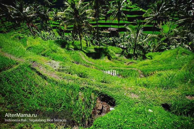 Рисовые террасы на Бали на мотоцикле