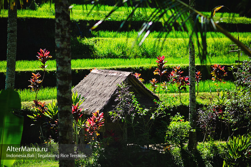 Поехать на рисовые террасы Бали самостоятельно
