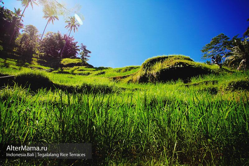 Как добраться в рисовые террасы на Бали