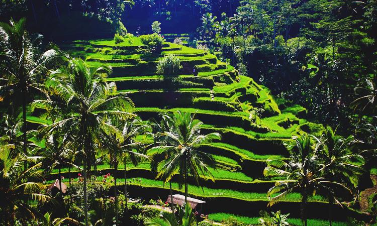Рисовые террасы Бали. Как доехать в рисовые террасы Тегаллаланг.