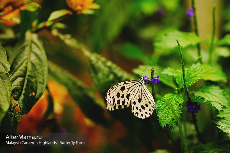 Бабочка Trogonoptera Brookiana