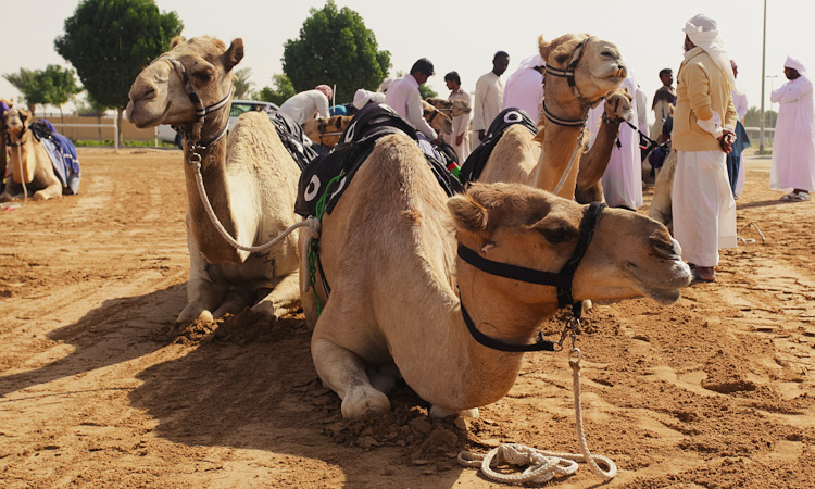 Верблюжьи бега в Дубае ОАЭ