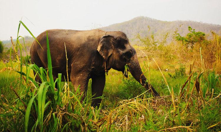 Слоны Таиланд. Как покормить слона в Тайланде.