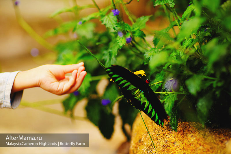 Malaysian Bird Wing Butterfly