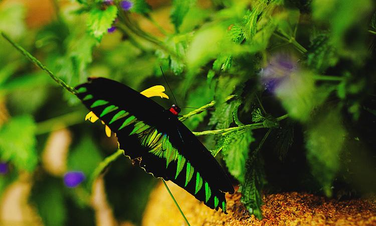 Парк бабочек в Малайзии. Экскурсии на камеронские холмы.